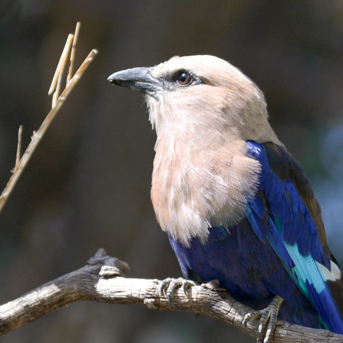Blue Bellied Roller