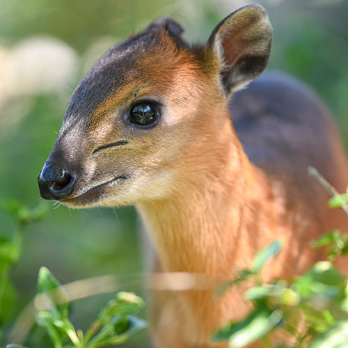 Red-Flanked Duiker