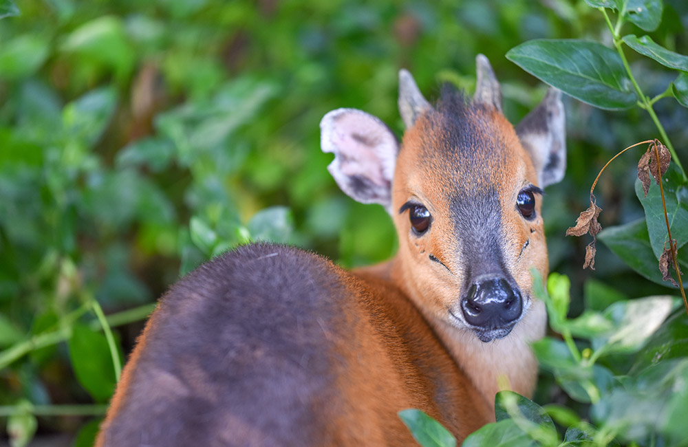 Red Flanked Duiker Conservation