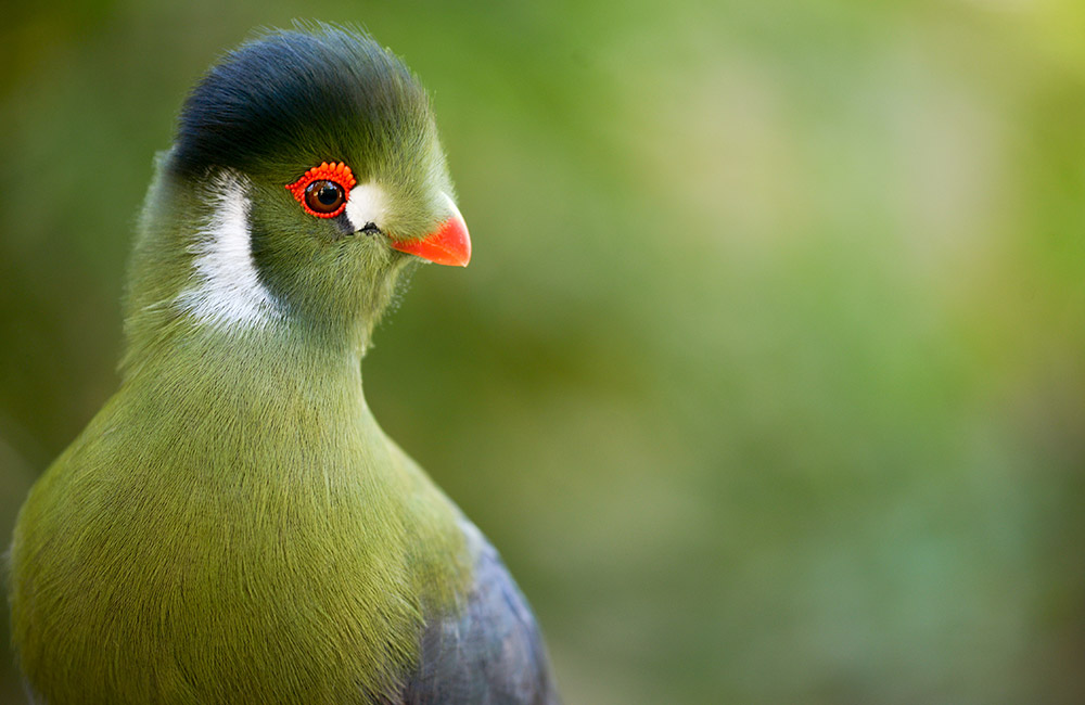 White Cheeked Turaco Conservation